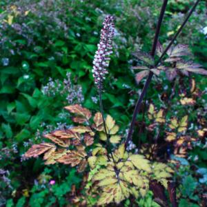 Actaea (cimicifuga) simplex 'Atropurpurea' | Aaldering de Stek