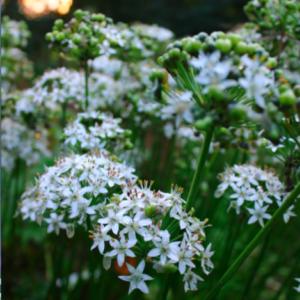 Allium tuberosum | Aaldering de Stek