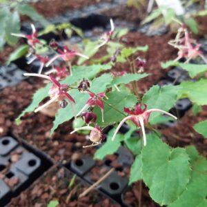 Epimedium grandiflorum 'Red Maximum'   Aaldering de Stek