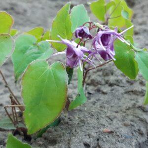 Epimedium grandiflorum 'Lilafee' - Aaldering de Stek