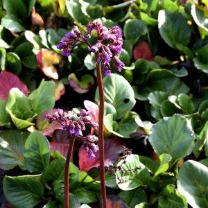 Bergenia cordifolia 'Winterglow'| Aaldering de Stek