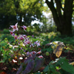 Epimedium 'Asiatic Hybrid'   Aaldering de Stek