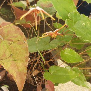 Epimedium 'Brown Spider'   Aaldering de Stek