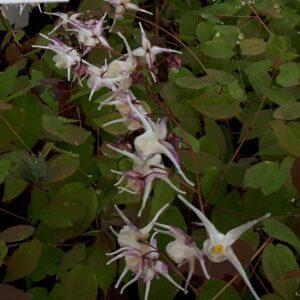 Epimedium grandiflorum   Aaldering de Stek