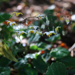 Epimedium 'Mandarin Star'   Aaldering de Stek