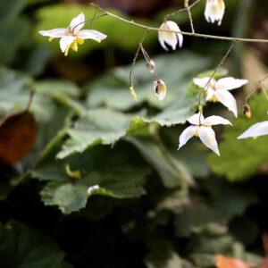 Epimedium 'Mandarin Star' | Aaldering de Stek