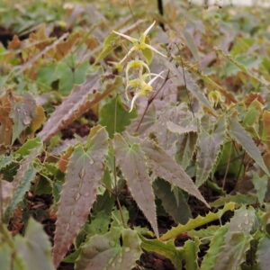 Epimedium sp. nova 'Spine Tingler'   Aaldering de Stek