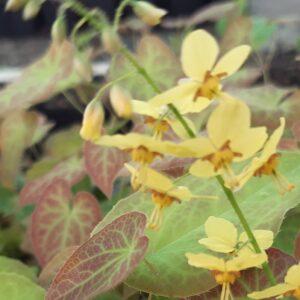 Epimedium pinnatum 'Colchicum'   Aaldering de Stek