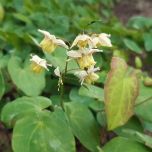 Epimedium versicolor 'Sulphureum'   Aaldering de Stek