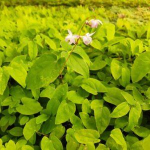 Epimedium youngianum 'Roseum'   Aaldering de Stek
