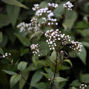 Eupatorium rugosum 'Chocolate' | Aaldering de Stek
