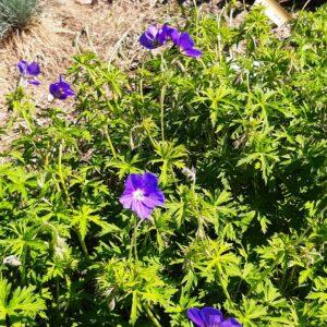 Geranium 'Eureka Blue'   Aaldering de Stek