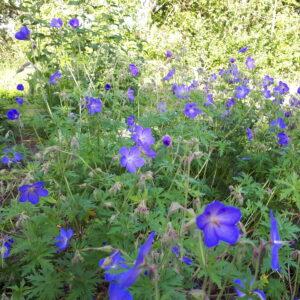 Geranium 'Johnson's Blue'   Aaldering de Stek