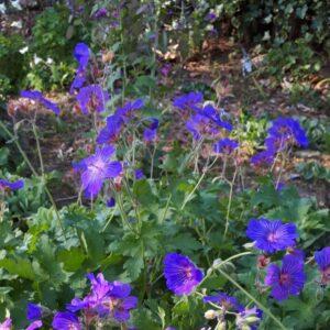 Geranium 'Sabani Blue'   Aaldering de Stek