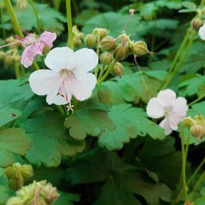 Geranium cantabrigiense 'Biokovo' | Aaldering de Stek