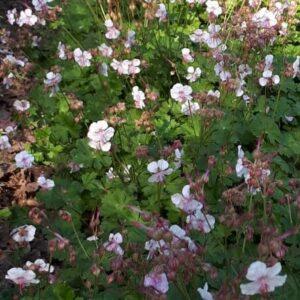 Geranium cantabrigiense 'Biokovo'   Aaldering de Stek