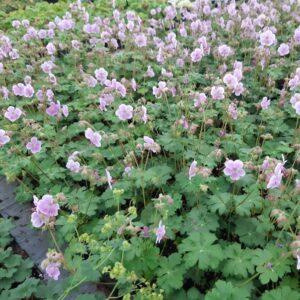 Geranium cantabrigiense 'Hanna'   Aaldering de Stek