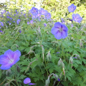 Geranium himalayense 'Iris Blue'   Aaldering de Stek