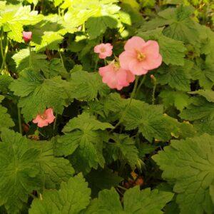 Geranium endressi 'Wargrave Pink'   Aaldering de Stek