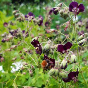Geranium phaeum 'Samobor'   Aaldering de Stek