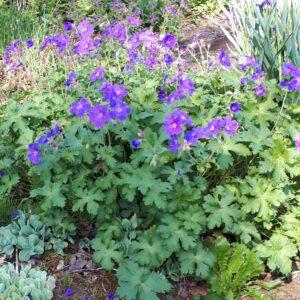 Geranium sylvaticum 'Mayflower'   Aaldering de Stek