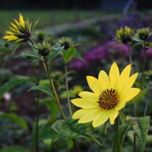 Helianthus giganteum 'Sheila's Sunshine' | Aaldering de Stek