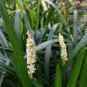Liriope monroe 'White' | Aaldering de Stek