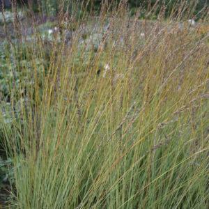 Molinia caerulea 'Heidebraut' | Aaldering de Stek