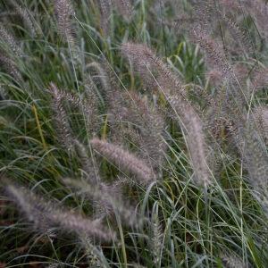Pennisetum alopecuroides 'Hameln' | Aaldering de Stek