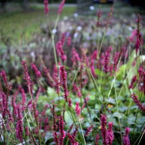 Persicaria amplexicaulis 'Speciosa' | Aaldering de Stek