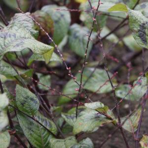 Persicaria virginiana 'Filiformis' | Aaldering de Stek