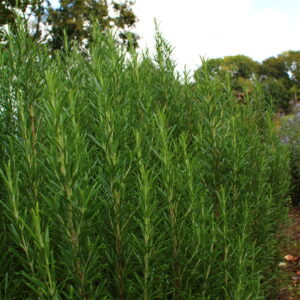 Rosmarinus officinalis | Aaldering de Stek