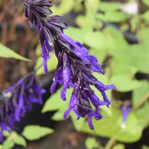 Salvia 'Amistad' | Aaldering de Stek