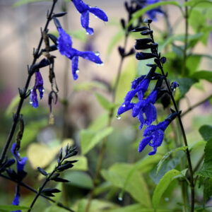 Salvia guaranitica 'Black and Bloom' | Aaldering de Stek