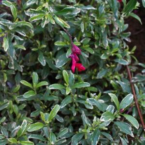 Salvia greggi 'Desert Blaze' | Aaldering de Stek