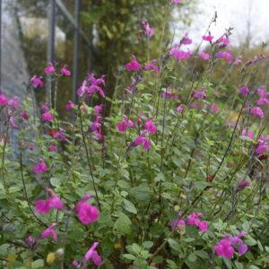 Salvia microphylla 'Cerro Potosi' | Aaldering de Stek