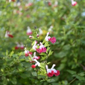 Salvia microphylla 'Hotlips' | Aaldering de Stek