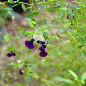 Salvia microphylla 'Nachtvlinder' | Aaldering de Stek