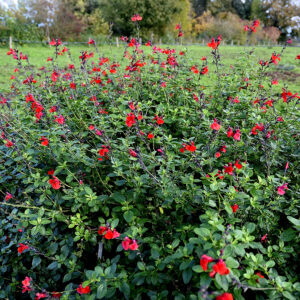 Salvia microphylla 'Royal Bumble' | Aaldering de Stek
