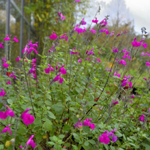Salvia microphylla 'Vevina' | Aaldering de Stek
