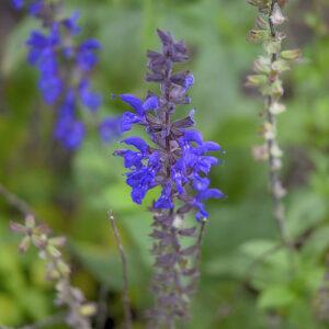 Salvia nemerosa 'Caradonna' | Aaldering de Stek