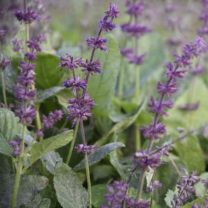 Salvia verticillata 'Endless Love' | Aaldering de Stek