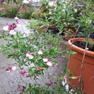 Salvia x jamensis 'Dyson's Joy' | Aaldering de Stek