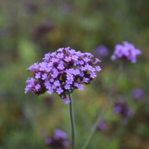 Verbena bonariensis | Aaldering de Stek