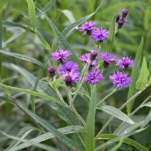 Vernonia Baldwinii | Aaldering de Stek