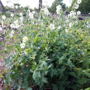 Geranium phaeum 'Album'   Aaldering de Stek