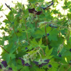 Geranium phaeum 'Mourning Widdow'   Aaldering de Stek