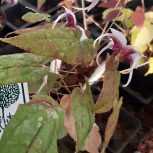 Epimedium 'Madame Butterfly'   Aaldering de Stek