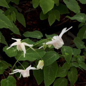 Epimedium 'Perrine's White'   Aaldering de Stek