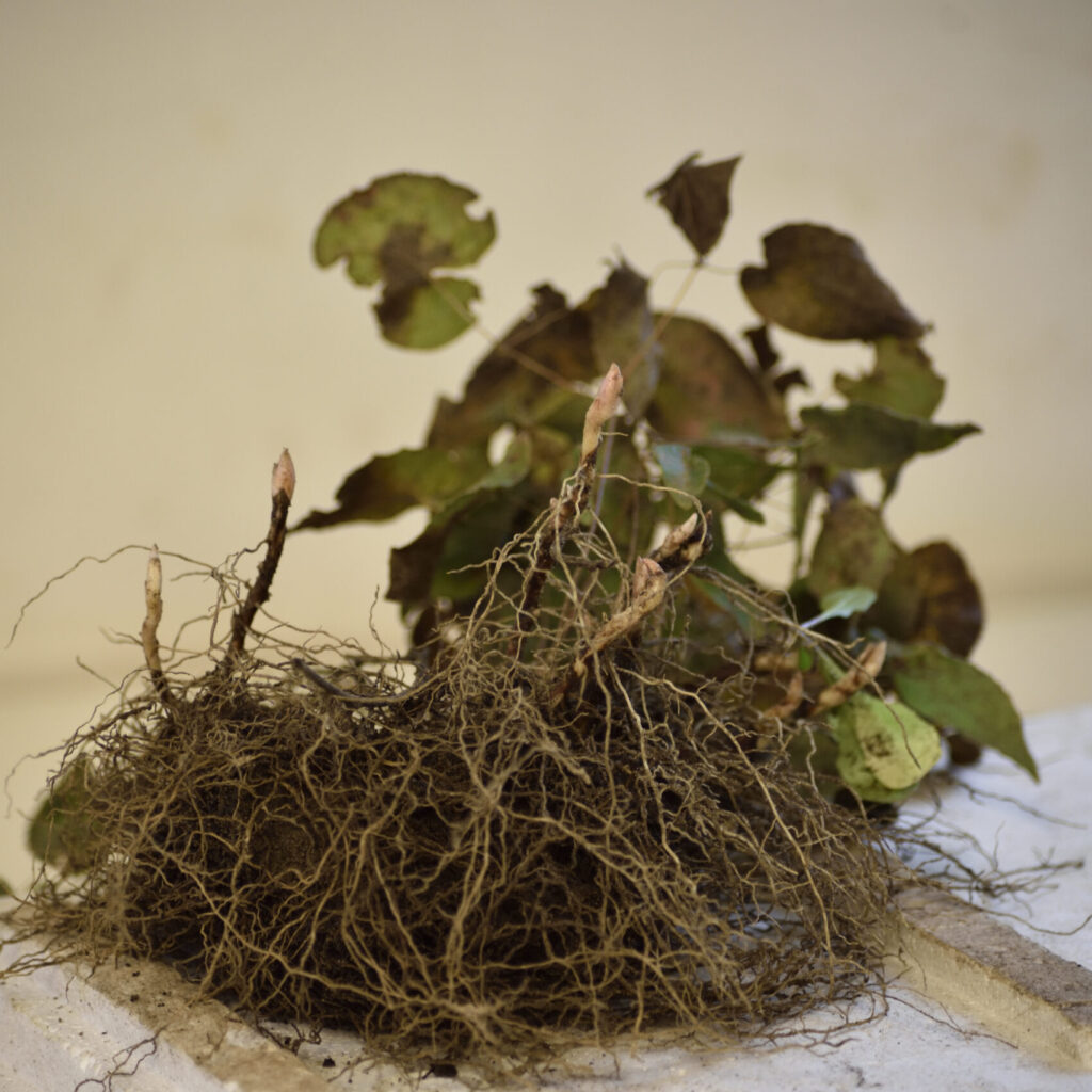 Pol wortelstek Epimedium Rubrum | Aaldering de Stek